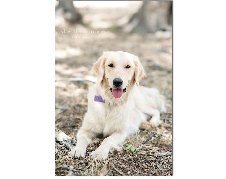 Bailey Goldendoodle breeder dog 1