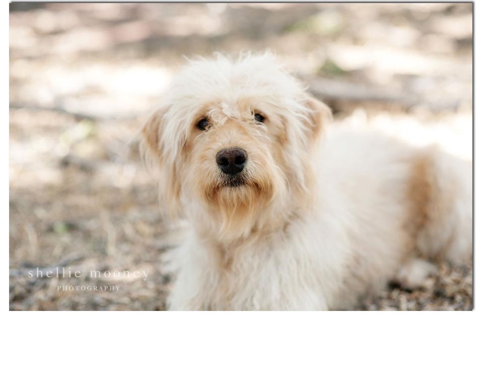 Daisy Goldendoodle breeder dog 3