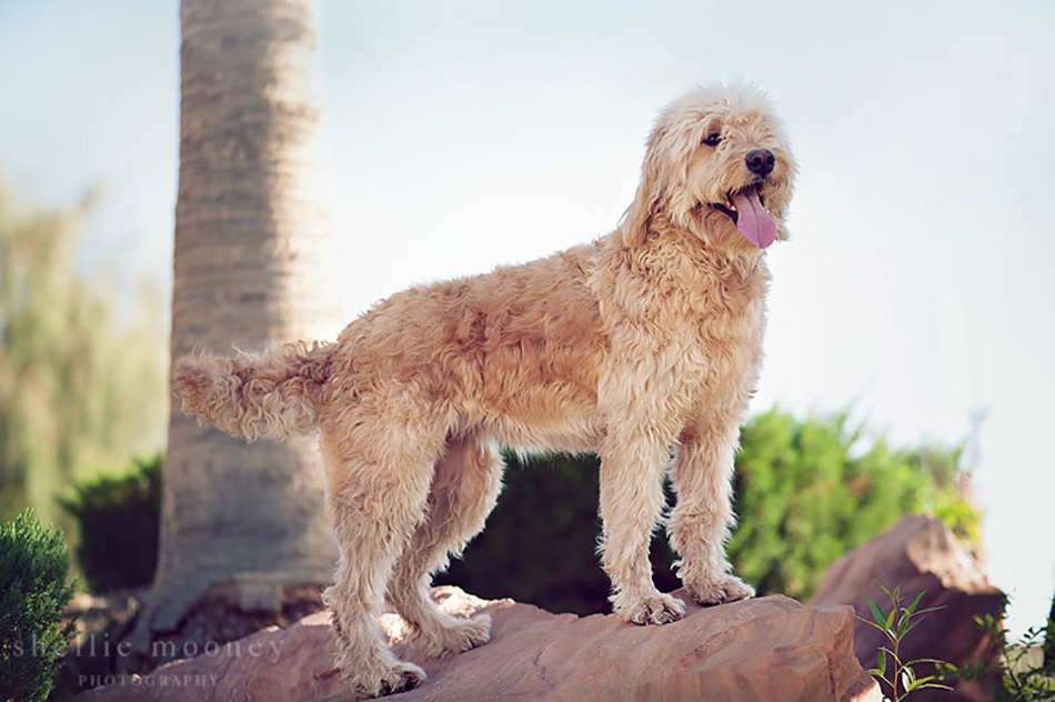 Daisy Goldendoodle breeder dog 2
