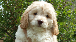 Hobart the goldendoodle puppy from Las Vegas!