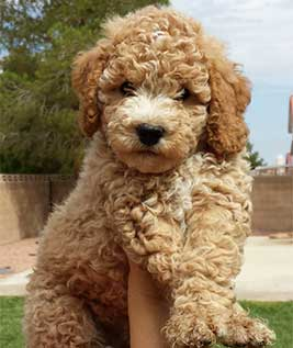 Sunshine Doodles|Mini Goldendoodles|Mini English Teddy Bear Golden