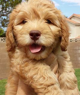 Goldendoodle puppy born to DaisySunshine Doodles!
