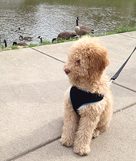 Goldendoodle puppy born to Daisy from Sunshine Doodles!