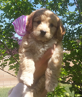 Goldendoodle puppy purple girl
