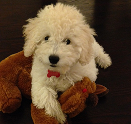 We love our goldendoodle puppy from Sunshine doodles!